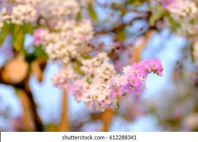 Lagerstroemia speciosa or Bang lang flower of Indian subcontinent