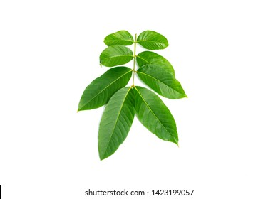 Lagerstroemia speciosa  leaves isolated on a white background
