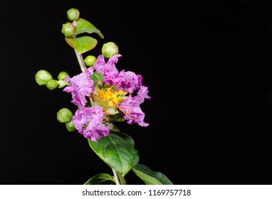 lagerstroemia starts to bloom in August