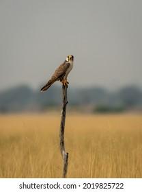 Laggar falcon or Falco jugger portrait at tal chhapar sanctuary churu rajasthan india