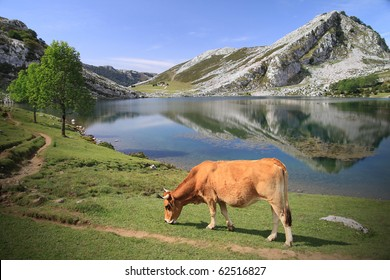 """Lago Enol near Covadonga in Asturias - Spain - natural reservation and famous park """"Picos de Europa"""" - Cow grazing at water's edge"""