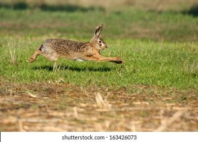 Lagomorphs, Brown Hare, Lepus capensis, Hare running mammal farmland campaign castelvetro modena