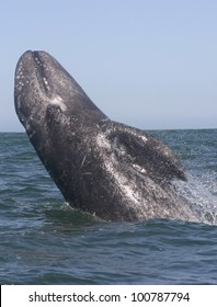 In a lagoon sanctuary of Baja, Mexico, a young Gray Whale, jumps out of the water, in a move known as breaching