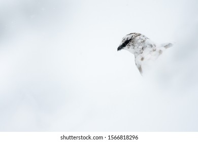 Lagopus mute Rock Ptarmigan during a snowfall. Subject living in the Italian Alps. During the winter season it becomes white to blend into the snow.