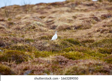 Lagopus is a small genus of birds in the grouse subfamily commonly known as ptarmigans. Rock ptarmigan is a medium-sized gamebird. It is known simply as the ptarmigan and as the raichō (thunder bird).