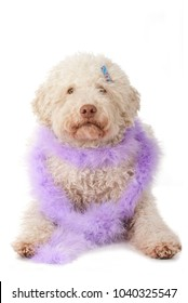 Lagotto romagnolo dog with feather boa isolated on white background