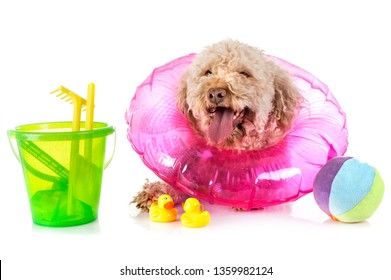 lagotto romagnolo in front of white background