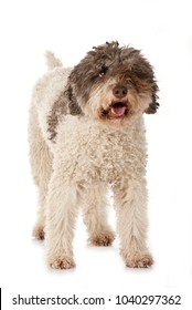Lagotto romagnolo isolated on white background