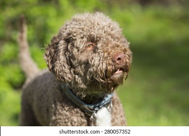 Big Dogs With Short Curly Hair 31