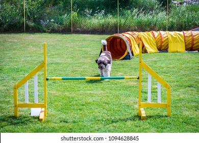 Lagotto Romagnolo on agility field for dogs, training and competing, jumping over obstacles, crossing over balance ramp, passing through the tunnel, running slalom ...