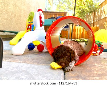 Lagotto Romagnolo puppy playing outdoors.