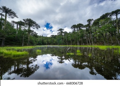 Laguna de Los Patos reflecting araucaria trees in lake in Huerquehue National Park on cloudy day