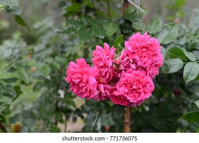Laguna Rose - pink climbing rose