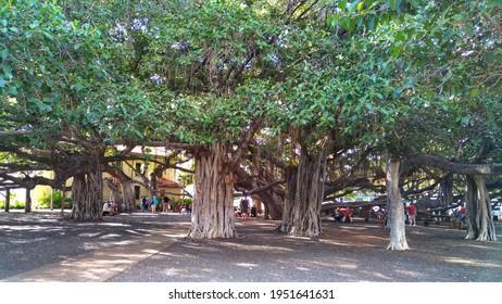 LAHAINA, HAWAII, USA - January 24th, 2017 - Moat iconic Banyan tree court in Lahaina, Hawaii
