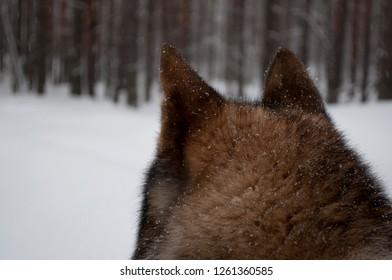 Laika on winter hunting