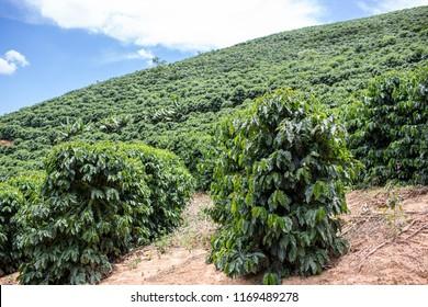 Lajinha / Minas Gerais / Brazil - Jan 21 2018: Seventh Detail of Plantation of coffee in the interior of Minas Gerais