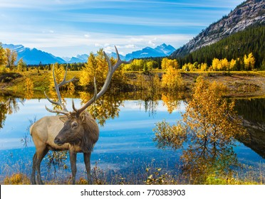 Lake Abraham is the colossal pond in the Rockies of Canada. Canadian deer with branched horns resting on the shore of the lake. Concept of ecological and active tourism