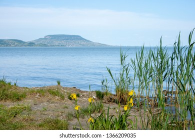 Lake Balaton shore with yellow irises in the foreground and the Badacsony mountain in the Backround. Focused on the front.