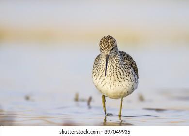 lake and birds Marsh Sandpiper / Tringa stagnatilis