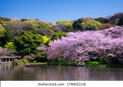 A lake and blooming cherry trees within the Sankeien Garden in Yokohama Japan on a sunny blue sky day.
