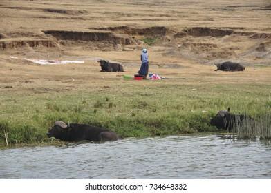 LAKE BUNYONYI, UGANDA/AFRICA - 07 13 2010: [a woman washing and drying clothes amidst buffalos]