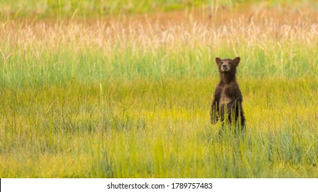 A Lake Clark Alaskan Grizzly Bear cub is searching for his Mother who moved away fromnhim while feeding