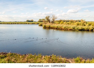 Lake in a Dutch nature reserve with swimming water fowl. The water surface is evenly rippled. The coots create special v-shaped lines in the water surface by swimming.