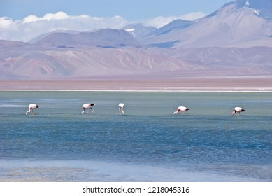 Lake with flamingos in Atacama desert near Ohos del Salado volcano. Best adventure tour Andes mountains in Chile, South America.