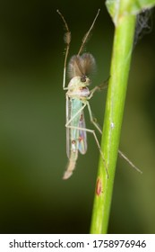 A lake fly of the Chironomidae family sitting on a stem