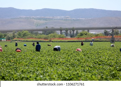 Lake Forest, California, USA - June 4, 2018: Immigrant (migrant) seasonal farm (field) workers work a field and pick and package strawberries in Lake Forest, California.