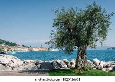 Gardasee, Italien: Olivenbaum am See und im Hintergrund das Panorama von Salò
