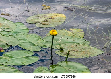 Lake Hopatcong, New Jersey 07-25-2020 Water lily in calm waters of Lake Hopatcong