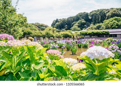Lake and hydrangea flowers at Dazaifu Tenmangu shrine in Fukuoka, Japan