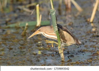 Lake Kerkini, Greece - May 25, 2019: Little bittern (Ixobrychus minutus)