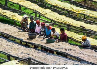 Lake Kivu Rwanda May 2016 Coffee day laborers picking over the red coffee cherries in the Lake Kivu region of Rwanda