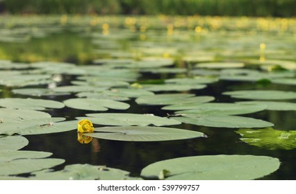 lake with lilies