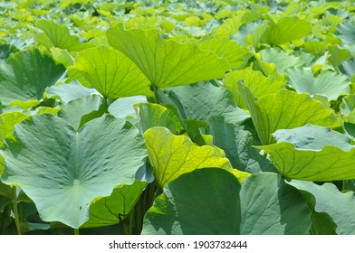 Lake with lotus plantation, leaves in the sun.