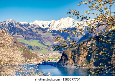 Lake Lucerne with snow covered mountains at spring with  apple blossoms in the foreground