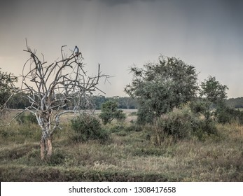 Lake Nakuru, KENYA - September, 2018. An augur buzzard rests on a branch of a tree in the savannah waiting to get up in flight to hunt