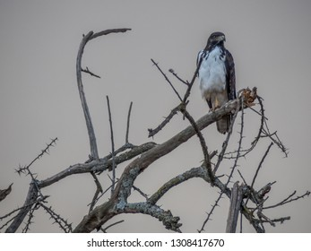 Lake Nakuru, KENYA - September, 2018. Close-up of an augur buzzard resting on a branch of a tree in the savannah waiting to get up in flight to hunt