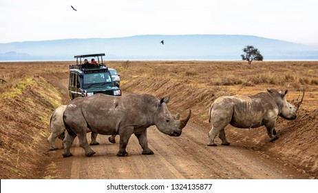 Lake Nakuru, Kenya/Africa - February 16, 2019: Family of white rhinos walk across a road in Lake Nakuru, Kenya Africa with vehicle of photo safari tourists watching