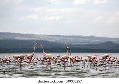 LAKE NAKURU NATIONAL PARK - NAKURU COUNTY/KENYA - 03/02/2009 - Flamingos wade in the shallows of Lake Nakuru in Lake Nakuru National Park, Kenya, East Africa.