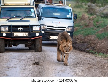Lake Nakuru National Park, Kenya - August 12 2019: a male lion walks towards camera in front of a line of safari tour buses and 4x4s