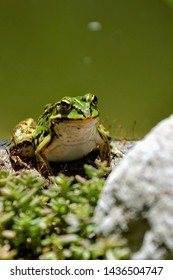 Lake or Pool Frog (Pelophylax lessonae), Marsh frog (Pelophylax ridibundus), edible frog (Pelophylax esculentus) on the edge of the pond. Cute green frog resting on the shore of the pond