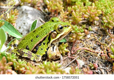 Lake or Pool Frog (Pelophylax lessonae), Marsh frog (Pelophylax ridibundus), edible frog (Pelophylax esculentus) on the edge of the pond. Cute green frog resting in the greenery
