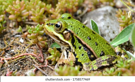 Lake or Pool Frog (Pelophylax lessonae), Marsh frog (Pelophylax ridibundus), edible frog (Pelophylax esculentus) on the edge of the pond. Cute green frog. Close up view, selective focus