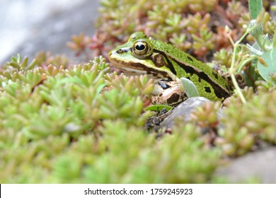 Lake or Pool Frog (Pelophylax lessonae), Marsh frog (Pelophylax ridibundus), edible frog (Pelophylax esculentus) on the edge of the pond. Cute green frog hiding in the greenery. Selective focus