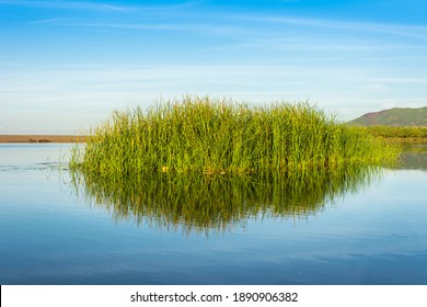 lake and reed grass, Water plants by the lake, Background. Plants in the lake, green reeds on Lake Outdoors