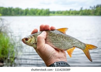 Lake roach fishing trophy
