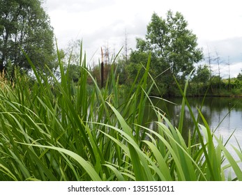 Lake rushes, typha angustifolia growing in the pond on summer